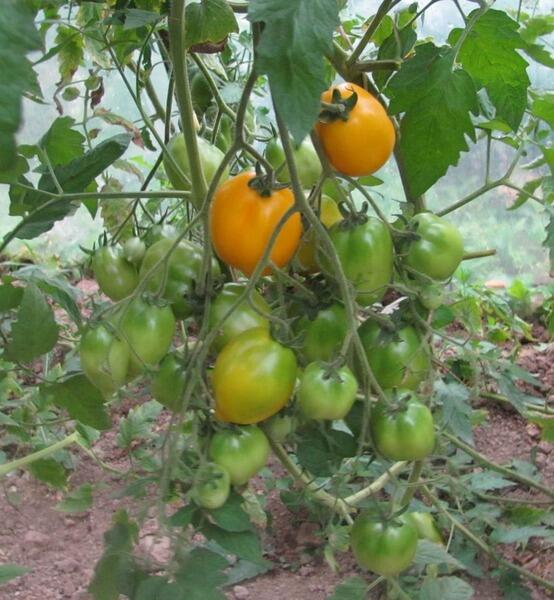 Можно ли вырастить ведро помидоров с одного куста?