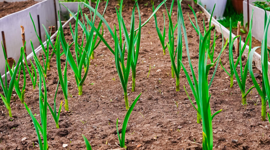 Как вырастить ранние овощи и зелень?