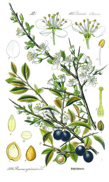 Тёрн. Ботаническая иллюстрация из книги О. В. Томе Flora von Deutschland, Österreich und der Schweiz, 1885 г.
