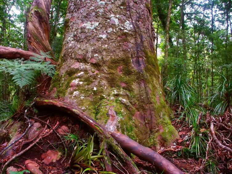 Каури в лесу Вайпуа