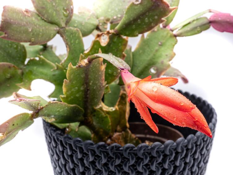 Как вырастить хатиору — кактус, не похожий на кактус?