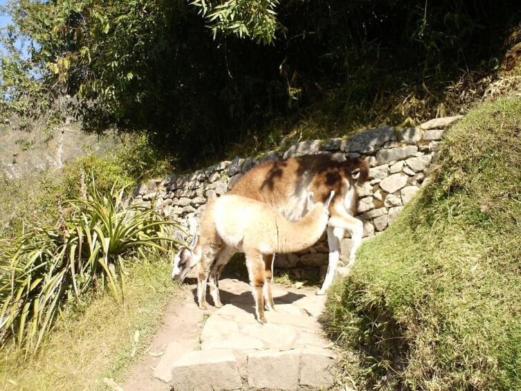 Ламы на дорогах инков