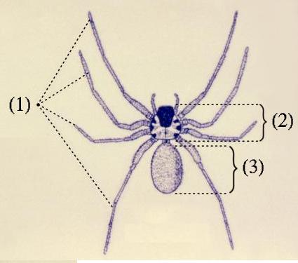 Анатомия паука: (1) четыре пары ног (2) головогрудь (3) опистосома