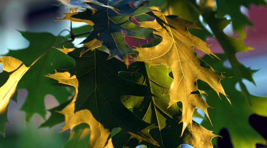 Листья дуба болотного