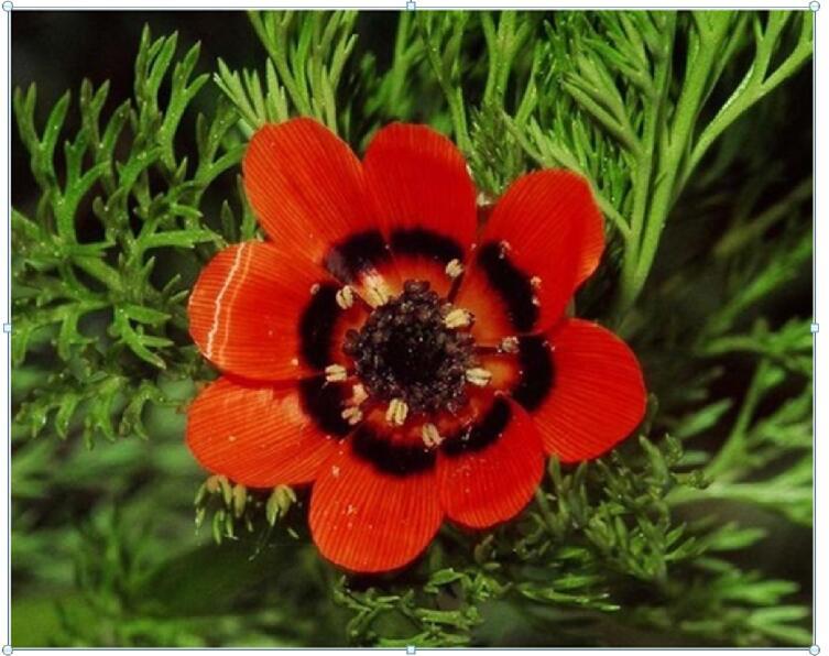 Адонис, или Горицвет