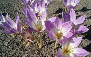 Что за растение безвременник великолепный?