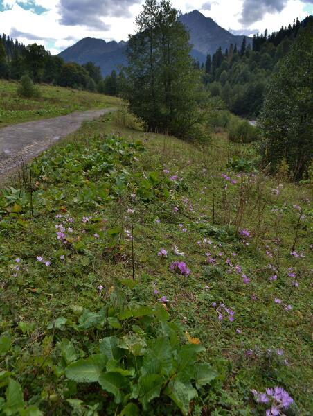 Безвременник великолепный в естественных условиях. Абхазия. Национальный парк Рица