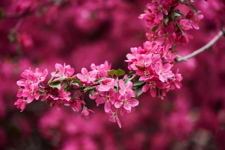 Все красивое в Японии возводится в культ, как эта цветущая сакура...