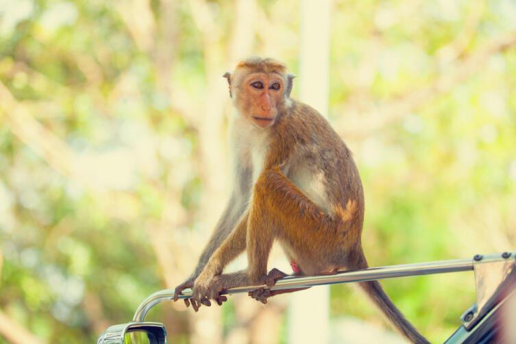 Приматы также находятся в зоне риска