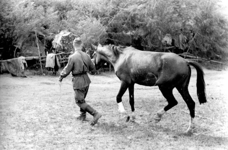Боец РККА ведет лошадь после осмотра у ветеринарного врача. 1944-1945 гг.