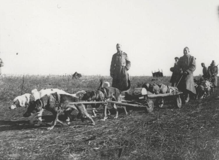 Отделение санитарных собак 55-го отдельного отряда собак санитарно-нартовых упряжек сержанта Бориса Петровича