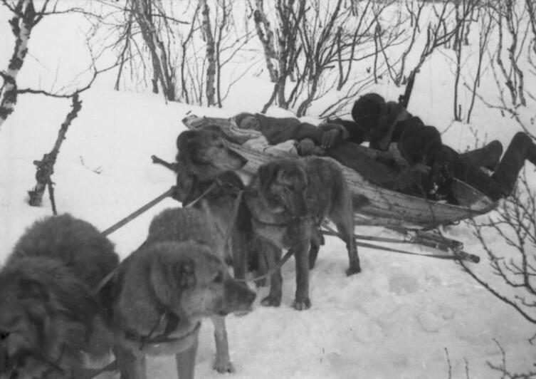 Транспортировка раненого бойца при помощи собачьей упряжки на Карельском фронте
