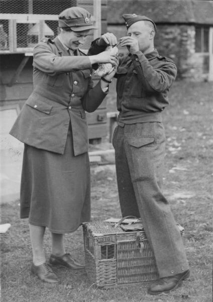 Женщина из ATS и солдат британской армии готовят к отправке сообщение голубиной почтой