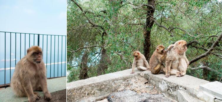 Обезьяны-маготы Гибралтара