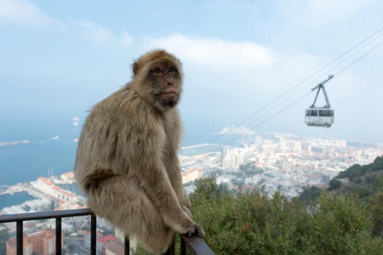Магот на фоне Гибралтарского пролива