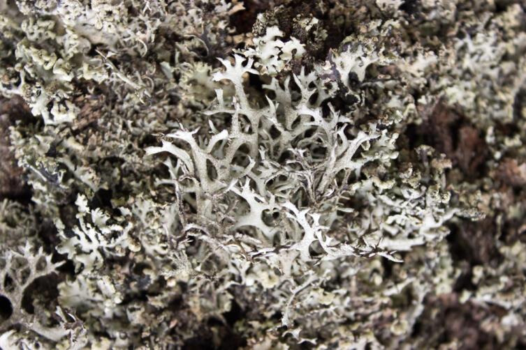 Загадка дубового мха: что скрывается за интересным ароматом?