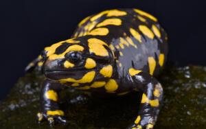 Привыкнув к своему жилью и к хозяевам, саламандры быстро приручаются