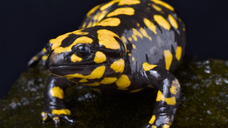 Корсиканская саламандра