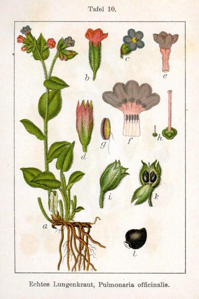 Медуница лекарственная (Pulmonaria officinalis). Ботаническая иллюстрация Якоба Штурма из книги «Deutschlands Flora in Abbildungen», 1796 г.