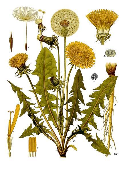 Одуванчик лекарственный. Ботаническая иллюстрация из книги Köhler's Medizinal-Pflanzen, 1887 г.