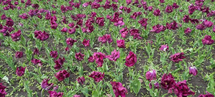 Тюльпаны в Кропивницком