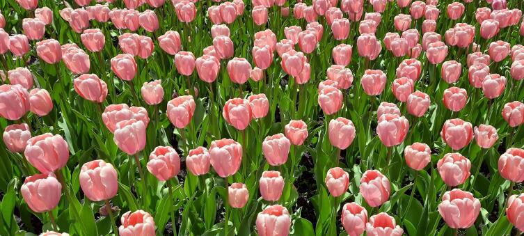 Парк в Кропивницком, тюльпаны