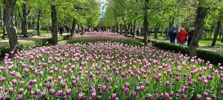 Где можно увидеть тюльпаны, как в Нидерландах?3