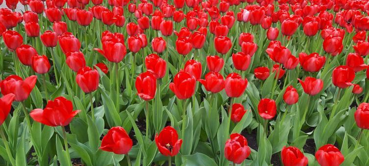 Где можно увидеть тюльпаны, как в Нидерландах?4