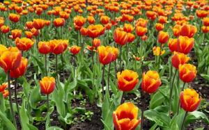 Где можно увидеть тюльпаны, как в Нидерландах?
