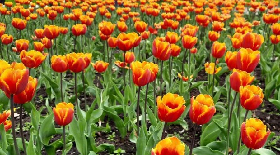 Двуцветные тюльпаны, Кропивницкий