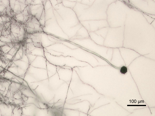 Aspergillus niger под микроскопом