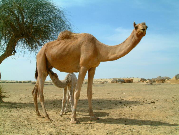 Верблюжье молоко является уникальным. Оно скисает гораздо медленнее, чем коровье, и легко усваивается людьми с непереносимостью лактозы