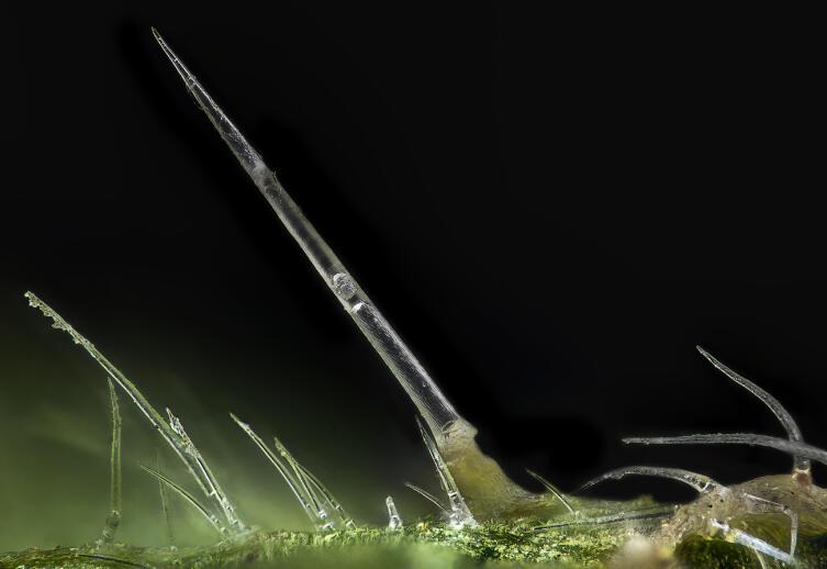 Жгучие волоски на крапиве