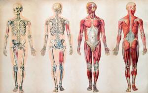 Увлекательная анатомия. Где находится палец Мортона и зачем человеку халлюкс?