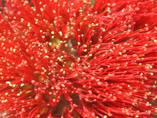 Тычинки цветов похутукавы