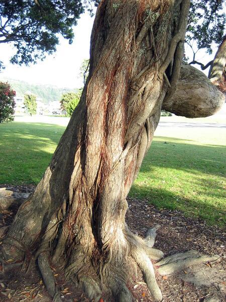 Похутукава — легендарное дерево маори. Как вырастить его в квартире?