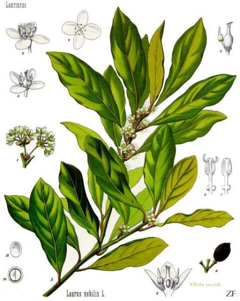 Лавр благородный. Ботаническая иллюстрация из книги Köhler's Medizinal-Pflanzen, 1887 г.