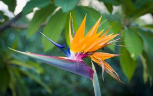 Стрелиция. Почему этот цветок называют райской птицей?
