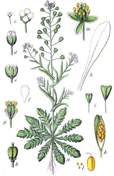 Пастушья сумка обыкновенная. Ботаническая иллюстрация Якоба Штурма из книги Deutschlands Flora in Abbildungen, 1796 г.