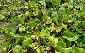 Растёт ли виноград в море и на деревьях?