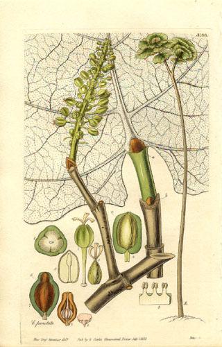Кокколоба опушенная, ботаническая иллюстрация