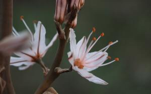 Почему красавец асфоделус стал цветком теней?