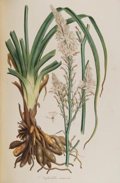 Асфодель, ботаническая иллюстрация