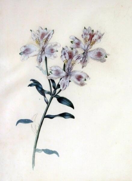 Alstroemeria sp. Ботаническая иллюстрация английской художницы Сары Родес, 1804 - 1805 гг.