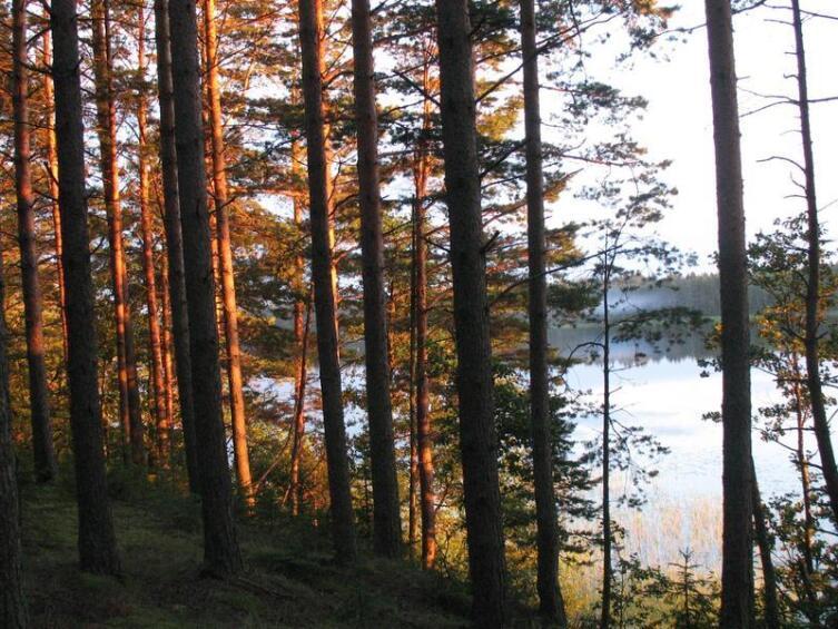 Новгородские сосны на закате