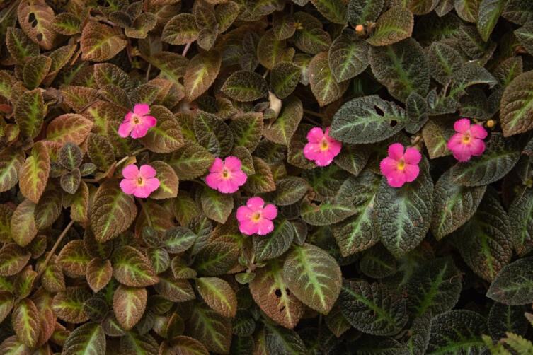 Комнатное цветоводство. Как выращивать эписцию?