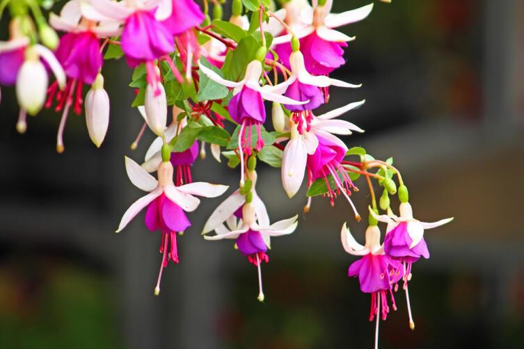 Фуксия — цветок огня. Чем она очаровала человека?