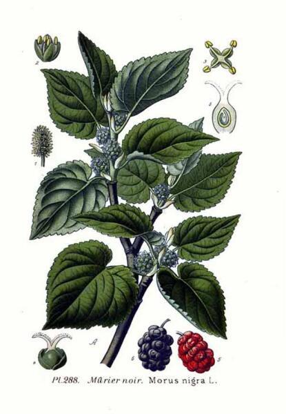 Шелковица чёрная. Ботаническая иллюстрация из книги А. Маскле Atlas des plantes de France, 1891 г.