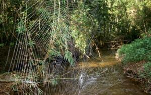Чем уникален паук Дарвина?