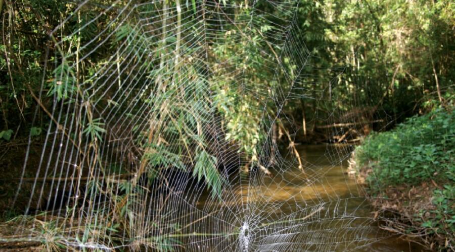Сеть паука Дарвина